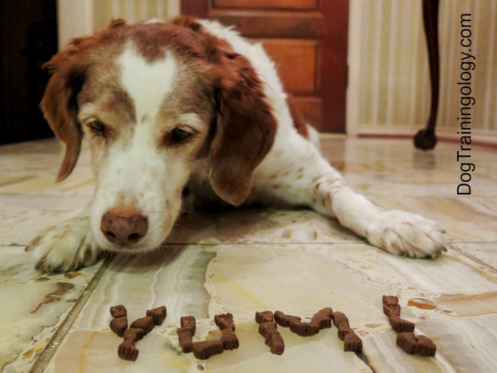 Ginger the Brittany Spaniel dog practices leave it with dog treats