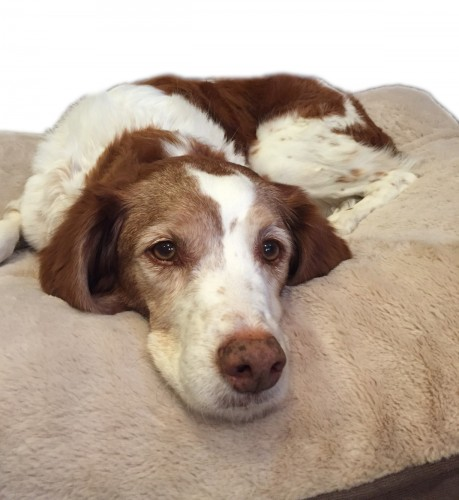 Ginger the Brittany spaniel lies on her dog bed