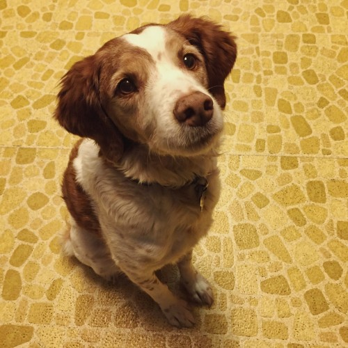 Ginger the Brittany spaniel sitting patiently